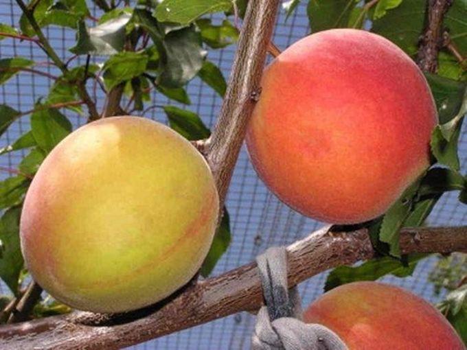 Плумкот — гибрид сливы и абрикоса