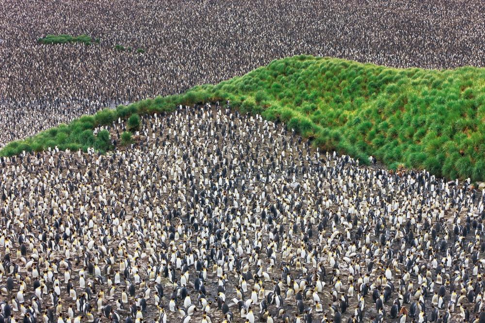 Королевские пингвины в долине Солсбери-Плейн, остров Южная Георгия