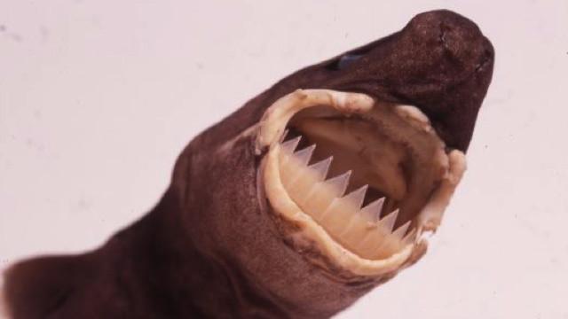 Большезубая сигарная акула. Способна убить рыбу или морское животное, многократно превышающее ее размерами. Акула-эктопаразит незаметно впивается в тело жертвы и выгрызает кусок ее плоти.