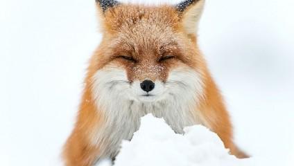 Непревзойдённые портреты диких лис от горного инженера из Чукотки
