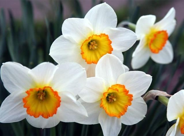 Нежный цветок, символ наступающей весны. Ну как не купить букетик домой, чтобы радоваться первым солнечным и теплым денькам, глядя на прекрасные цветочки! Принося в дом такой букетик, знайте, что, даже не употребляя в пищу части этого цветка, можно нанести вред своему здоровью. Просто находясь рядом, Вы можете почувствовать головную боль. Возможны проявления аллергии. А вот если его попробовать на вкус, то последствия будут куда более масштабными: тошнота и рвота, конвульсии и потеря сознания, паралич и смерть. Так что, даже просто держа их в руках, следите, чтобы сок не попадал на открытые раны, лучше всего защититься перчатками.