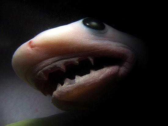 Эмбрионы тигровой акулы борются друг с другом в чреве матери, так что сильнейший съедает остальных и в итоге рождается.