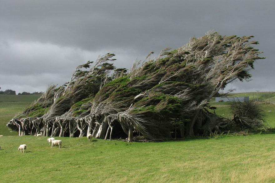 Деревья на мысе Slope Point, Новая Зеландия