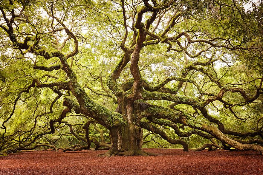 Дуб Angel Oak