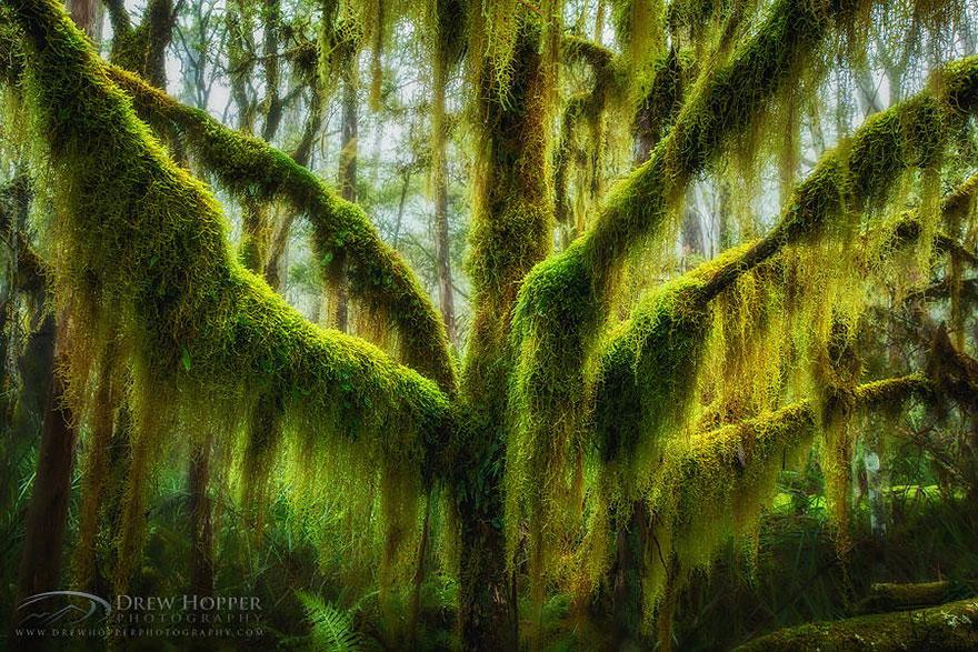 Дерево Lophozonia moorei