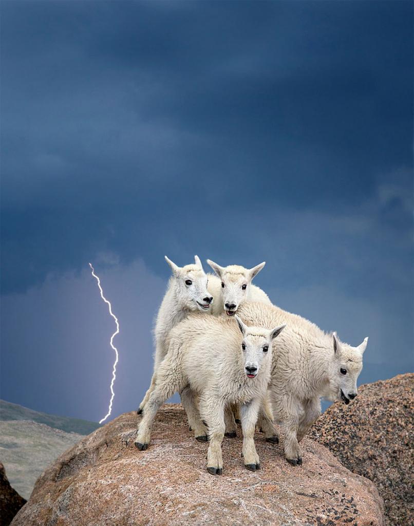 Детёныши снежной козы Гора Эванс, штат Колорадо, США