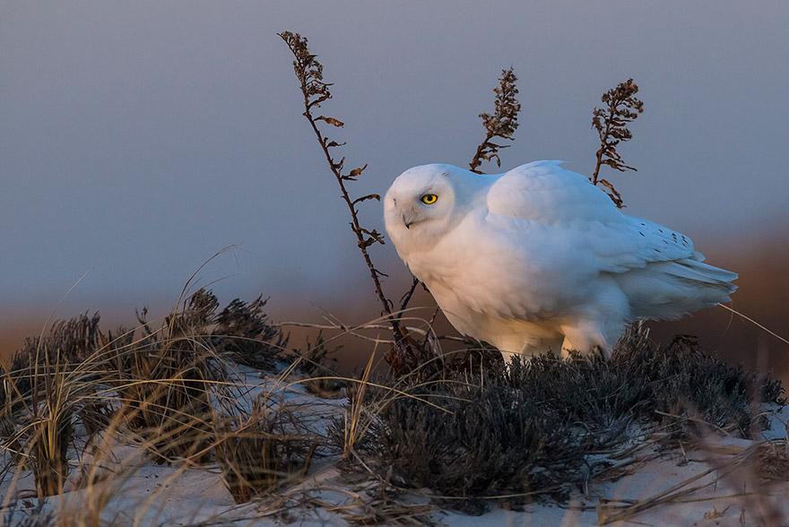 Белая сова, штат Нью-Йорк, США