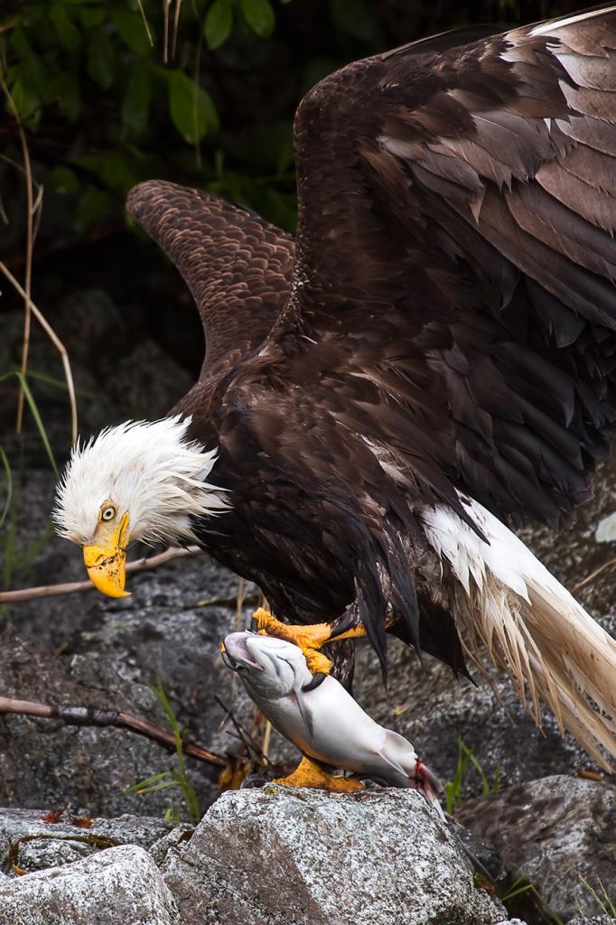 Белоголовый орлан, штат Аляска