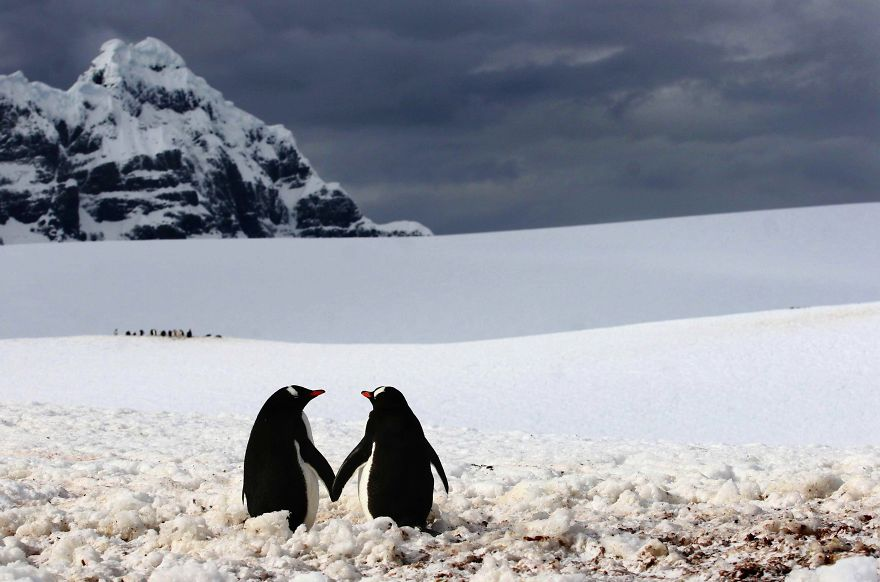 animal-couples-in-love-penguins__880