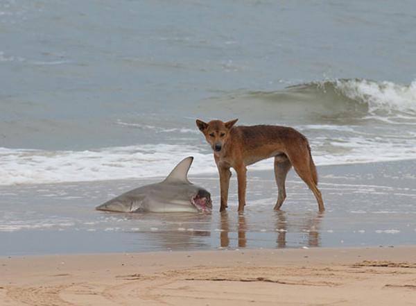 Собаки Динго опасны. Даже для акул