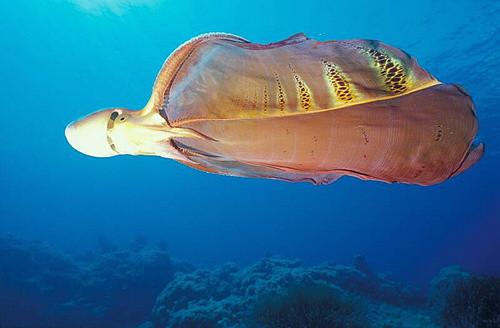 """Осьминог-одеяло. Одеялом обладают только самки, которые могут вырастать до двух с половиной метров в длину. Это их защитная реакция на хищников. За счет такого одеяла, самка, кажется больше в несколько раз, чем сбивает хищника с толку и вынуждает на бегство. Если одеяло не помогло, то вход может пойти яд, который смертелен для морских существ. На фоне своих огромных партнерш самцы выглядят настоящими карликами: их размеры превышают 2.5 сантиметра. И весят они в сорок тысяч раз меньше, чем их подруги. Они защищаются с помощью щупалец """"Португальского кораблика"""". Португальский кораблик – это медуза, которая очень ядовита и может нанести вред не только морским существам, но и людям. Осьминог разрывает ее на части (к яду уже давно выработался иммунитет), а с собой забирает ее ядовитое щупальце и использует для своей защиты."""