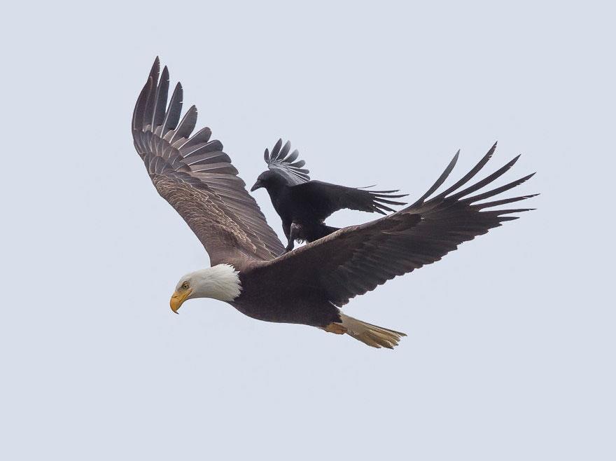 crow-rides-eagle-bird-photography-phoo-chan-2
