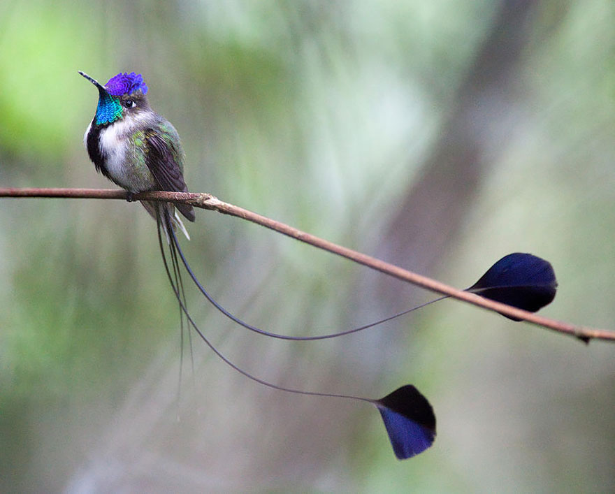 Колибри Loddigesia mirabilis