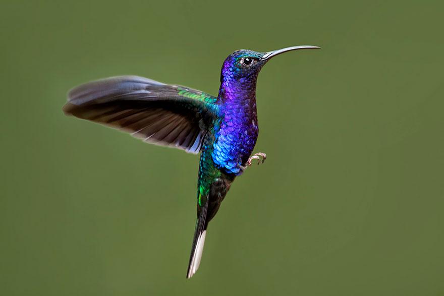 Пурпурный саблекрыл