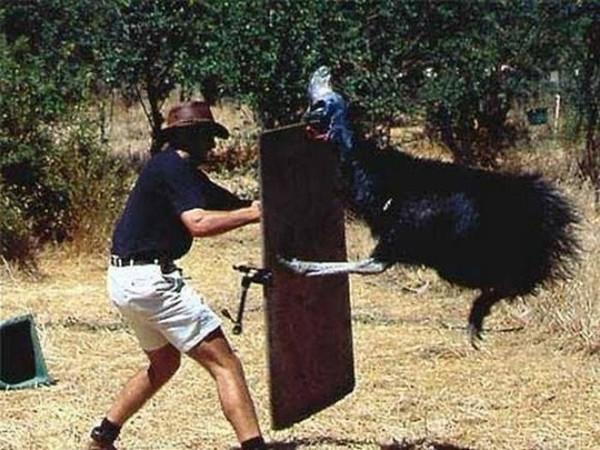 Это казуары - ужасные гигантские птицы