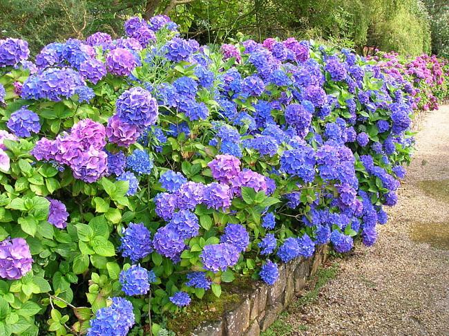 Этот прекрасный цветок, который так часто можно увидеть в парковых цветниках и клумбах, так и хочется высадить на своем дачном или садовом участке. И если Вы соблазнитесь его красотой и позволите расти возле Вашего дома, то подселите около себя потенциального убийцу, который будет находиться рядом с раннего лета и до поздней осени. Растение опасно от корней и до кончиков листьев, но самой опасной частью является бутон. Последствия при попадании в организм хоть кусочка этого растения будут такими же, как и при употреблении цианистого калия! Удушье, потеря сознания, судороги, учащенный пульс, падение артериального давления и даже смерть – вот цена неосторожного обращения с этим милым цветком. Так что постарайтесь отгородить себя и своих близких от потенциальной опасности.