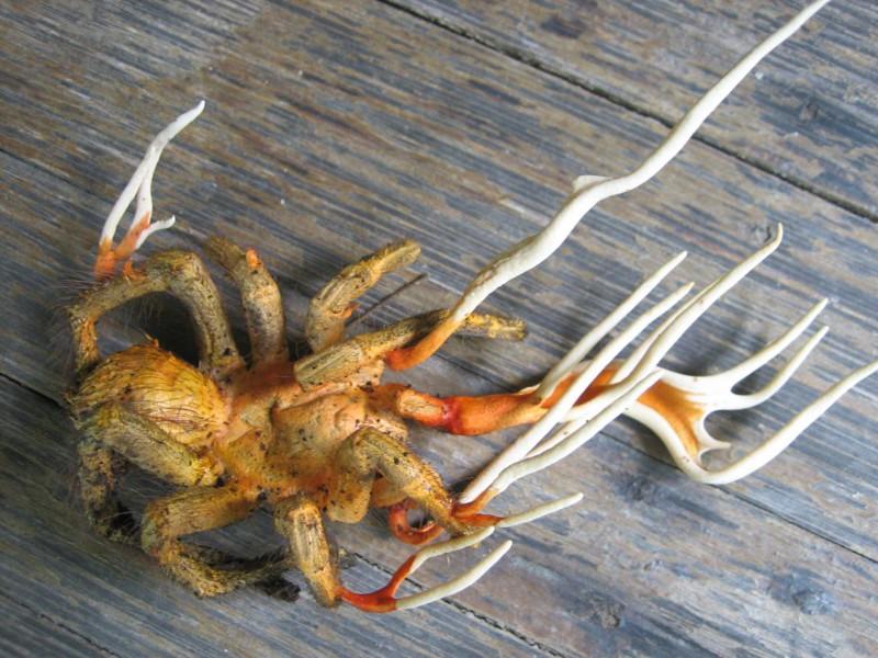 """Кордицепс – грибок, паразитирующий на насекомых. Эти """"рога"""" выросли в результате грибкового заражения. Некоторые виды кордицепса обладают способностью контроля сознания и превращают хозяина в зомби для распространения инфекции."""