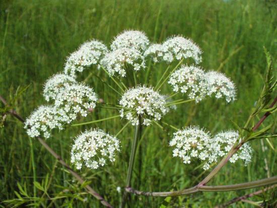 Это растение на вид так невинно: белые цветочки, собранные в идиллические зонтики. Красноватый прямой стебель и корневище с нежным запахом сухофруктов (или моркови) имеют сладковатый вкус. Но горе тому, кто лично почувствовал эту сладость! Расплата за любопытство последует уже через четверть часа. У несчастного начнется сильная боль в животе, слюнотечение, рвота и понос, далее — судороги, которые могут привести к остановке дыхания и сердца.