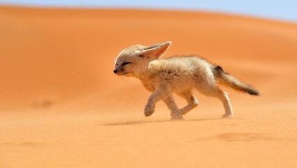 Самые красивые виды лисиц