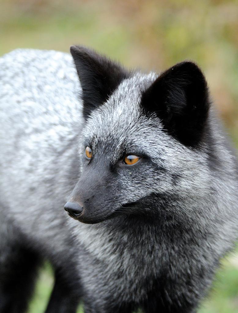 Серебряный лис