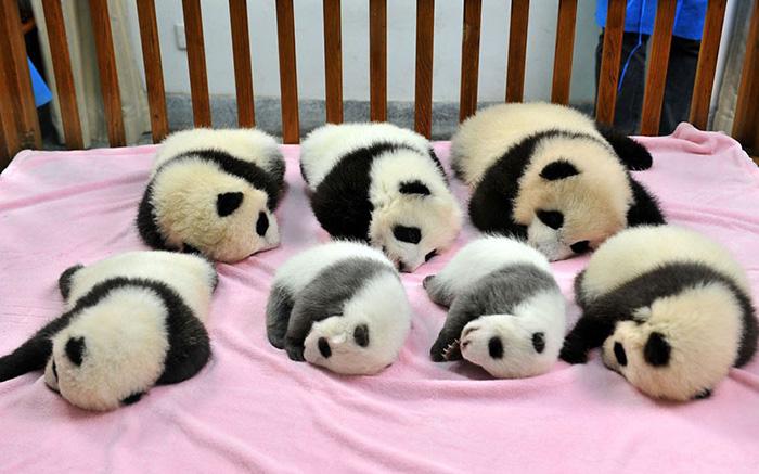 «Детский сад» для панд — самое очаровательное место на Земле