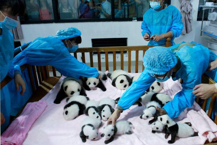 breeders-take-care-of-giant-panda-cubs-inside-a-crib-at-chengdu-research-base-of-giant-panda-breeding-in-chengdu-2