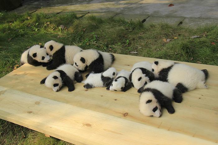 panda-daycare-nursery-chengdu-research-base-breeding-12