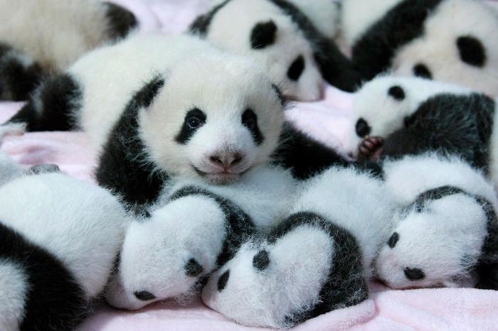 giant-panda-cubs-lie-in-a-crib-at-chengdu-research-base-of-giant-panda-breeding-in-chengdu-4