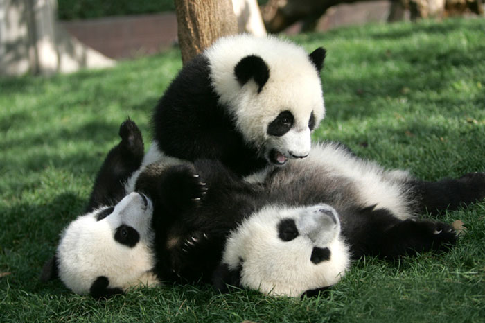 panda-daycare-nursery-chengdu-research-base-breeding-19