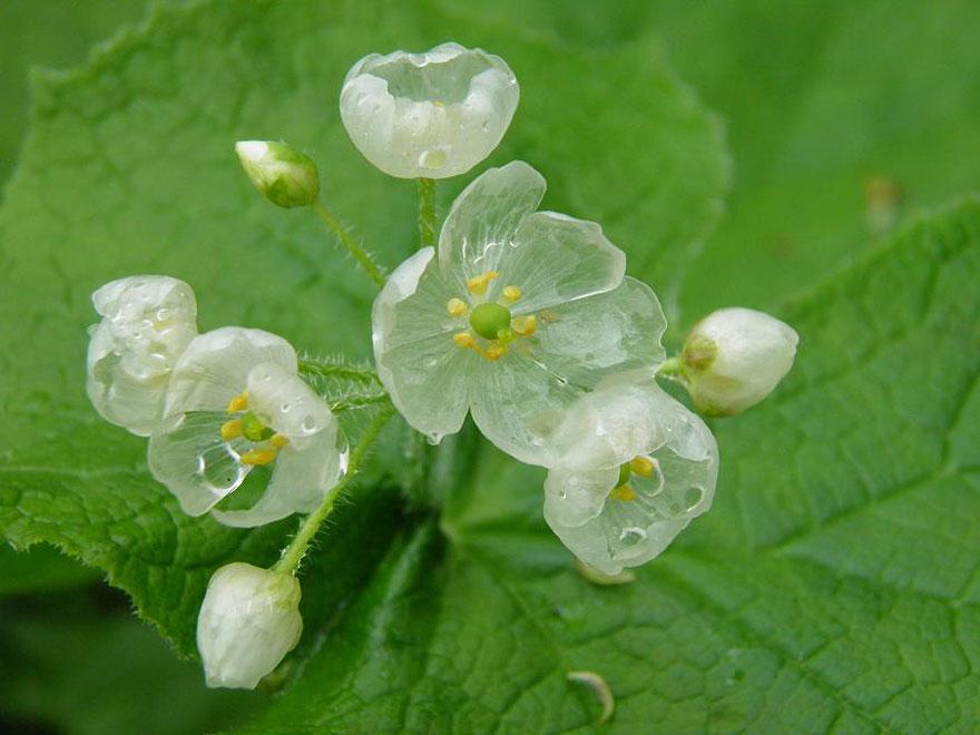 transparent-skeleton-flowers-in-rain-diphylleia-grayi-16