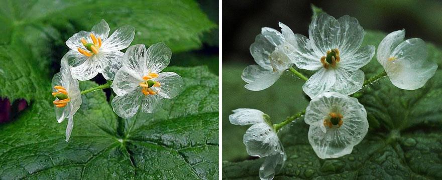 transparent-skeleton-flowers-in-rain-diphylleia-grayi-20
