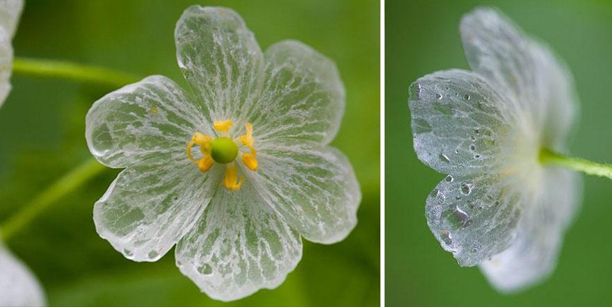 transparent-skeleton-flowers-in-rain-diphylleia-grayi-22