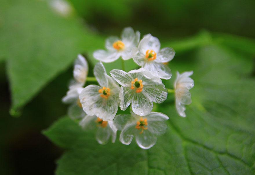 Удивительные метаморфозы цветов Diphelleia grayi во время контакта с водой