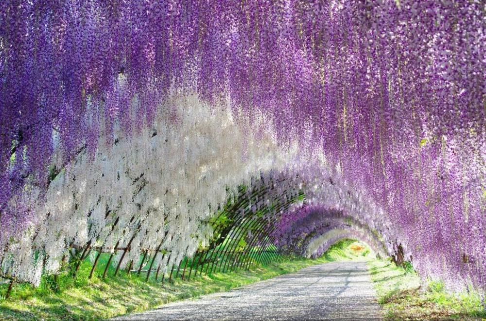 Сады Кавачи Фудзи, Япония