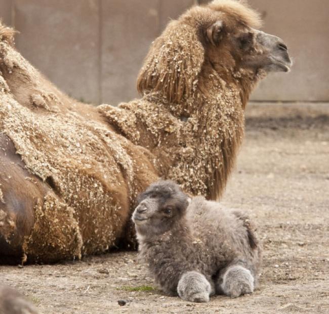 Верблюжонок. Практически плюшевый!
