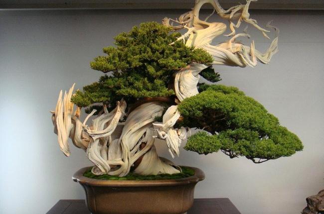 Этому дереву бонсай 800 лет.