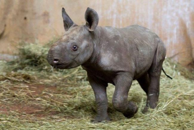В зоопарке Цюриха впервые за 18 лет родился в неволе черный носорог. Это очень редкая порода.