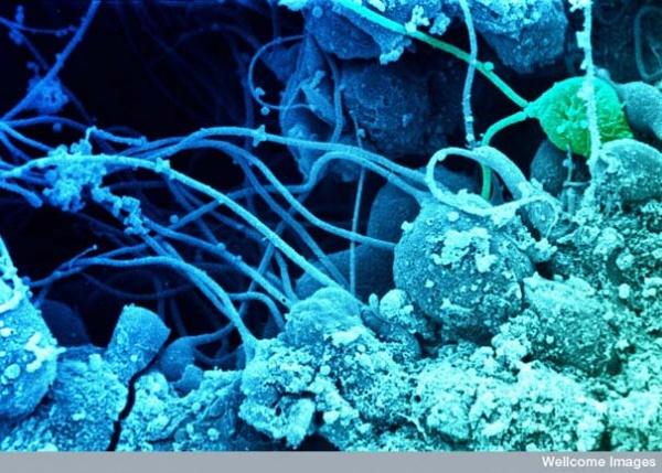 Сперматозоиды развиваются в семенниках
