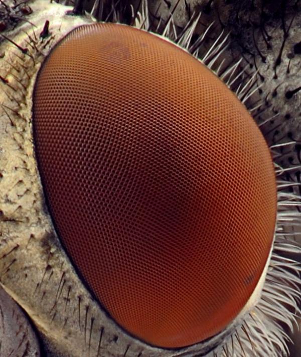Глаз мухи