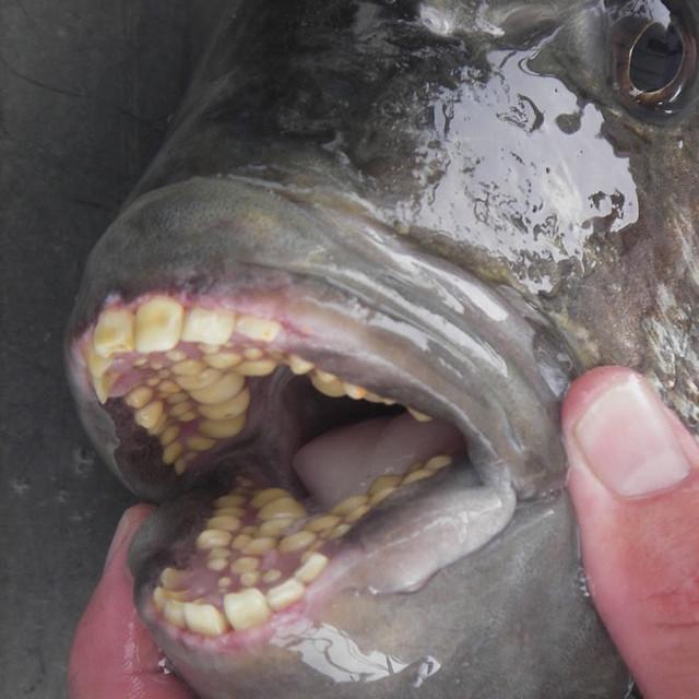 О, как хотелось бы, чтобы эта отвратительная фотография не была реальной. Но увы: это рыба паку, и её зубы действительно настолько напоминают человеческие. Эту рыбу можно есть, многие так и делают.
