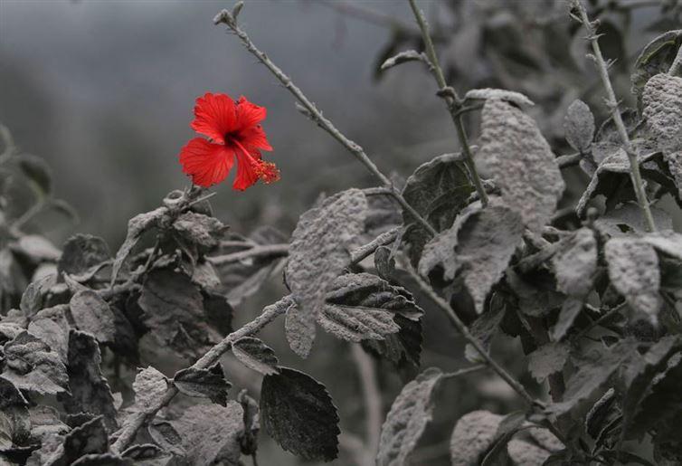 Это выглядит как талантливый фотошоп, но на самом деле это реальное фото. Это фото цветка гибискуса, раскрывшегося после того, как вулканический пепел покрыл всё вокруг. Дело происходит в Индонезии.