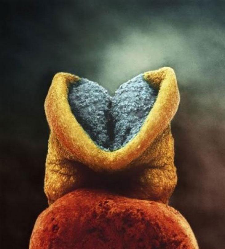 22 день развития эмбриона. Серое вещество — это будущий головной мозг