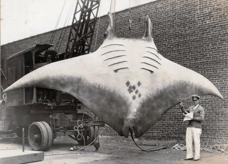 «Великий Скат» или «Great Manta», которого поймал капитан Кан, 1933 год.