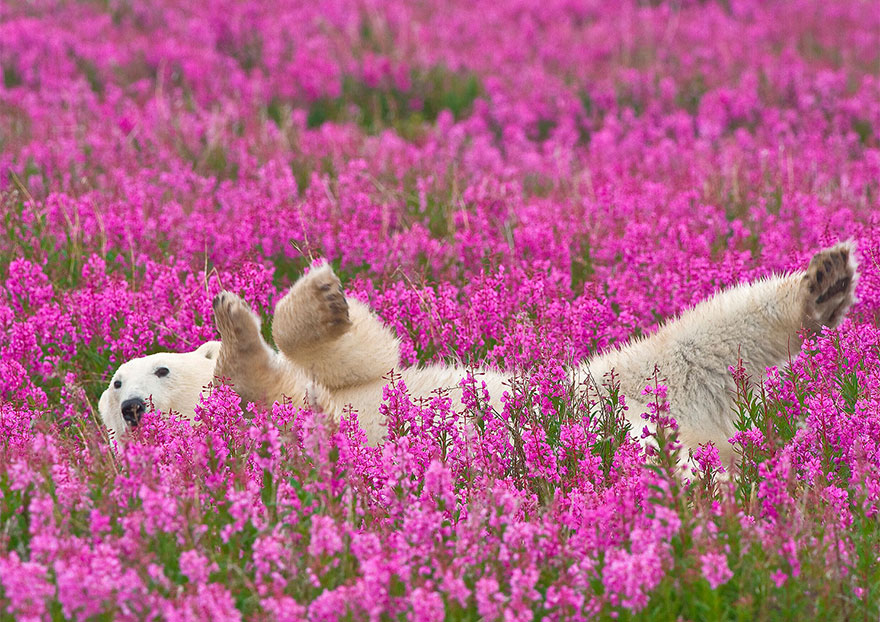 Медведи и цветы. Оригинальные снимки полярных «косолапых»