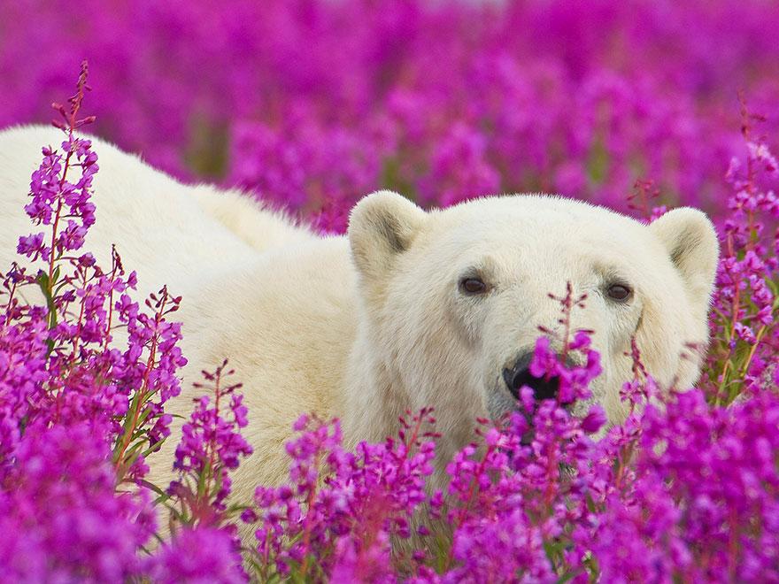 3. Белые медведи играют со всем, что находится вокруг них.