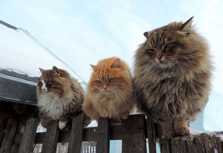 Siberian-Cats_photo-Alla-Lebedeva111