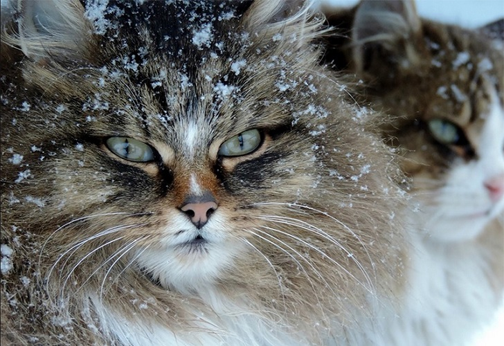 Siberian-Cats_photo-Alla-Lebedeva121