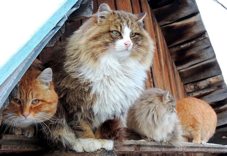 Siberian-Cats_photo-Alla-Lebedeva151
