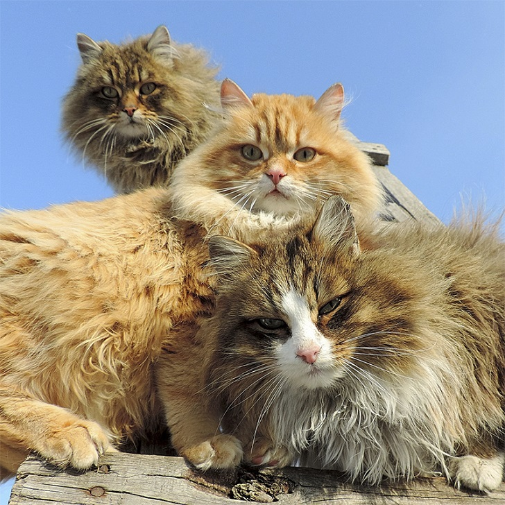 Siberian-Cats_photo-Alla-Lebedeva21