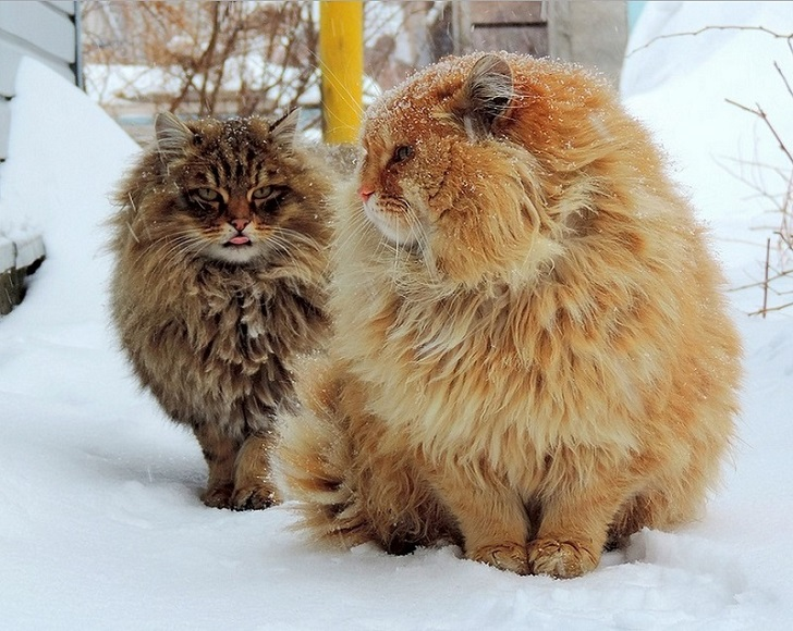 Siberian-Cats_photo-Alla-Lebedeva61